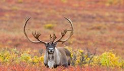 reindeer-buck